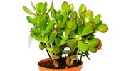 Grubosze - odmiany, uprawa i pielęgnacja