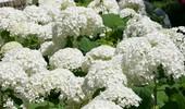 Hortensja krzewiasta, drzewiasta - uprawa, odmiany i cięcie