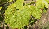 Choroby i szkodniki winogron - objawy i zwalczanie