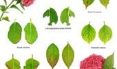 Choroby i szkodniki hortensji - objawy i zwalczanie