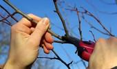 Jak i kiedy prawidłowo ciąć śliwy? Odpowiadamy!