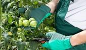 Przycinanie pomidorów - istotnie wpływa na plonowanie