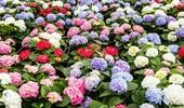 Jak i kiedy sadzić hortensje? Technika i termin sadzenia hortensji