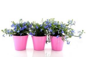 Werbeny Witułki Kwiaty Na Balkon I Do Ogrodu