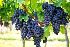 Kiedy I Jak Sadzić Winogrona Najlepszy Termin I Technika