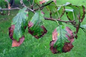 Szkodniki jabłoni zwijanie liści