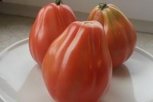 Pomidory Malinowe Siew Sadzenie Uprawa Odmiany I Pielęgnacja