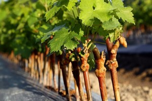 Jak Rozmnażać Winogrona Zobacz Najskuteczniejsze Sposoby