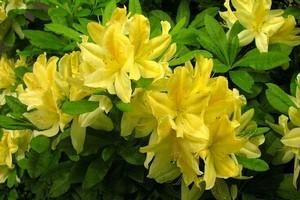 Różanecznik żółty, azalia pontyjska - uprawa i pielęgnacja