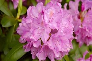 Różanecznik katawbijski - uprawa, wymagania i pielęgnacja