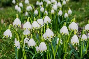Śnieżyca wiosenna - sadzenie, uprawa, wymagania i ochrona